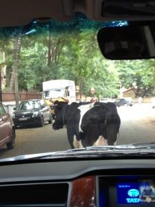 車の前を牛が通過中